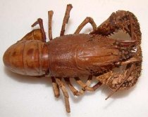 Image of Specimen, Crustacean - Freshwater crayfish Paranephrops planifrons. No locality data.