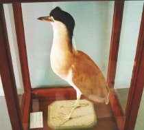 Image of Specimen, Mounted - Sublime specimen of a Nankeen Night Heron, inside a wood and glass display case. Black head feathers with a small crest aboove the eyes, plus two long white feathers emerging from under the black nape feathers. Pure cream to caramel breast and underbelly feathers, yellow claws, and cream brown back and flight feathers. Large, bright, yellow eyes and a powerful, stabbing beak.