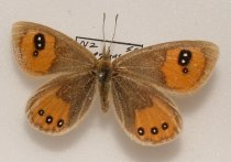 Image of Specimen, Lepidoptera - Female common tussock butterfly.