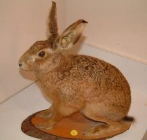 Image of Specimen, Mounted - Mounted specimen of adult hare in sitting/crouching position. Mounted on oval wooden wooden board, stamp on back for P.J. O'Rourke & Sons Taxidermists, Pleasant Point. No locality data.