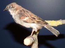 Image of Specimen, Mounted - Mounted specimen of male house sparrow. Specimen found dead in Timaru garden, 2003.