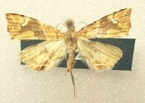 Image of Specimen, Lepidoptera - Fern moth, attracted to light, suburban garden. Timaru, January 1996.