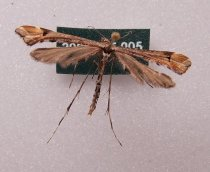 Image of Specimen, Lepidoptera - Small brown plume moth, attracted to light, Suburban Garden, Timaru, 17 Dec 1992.