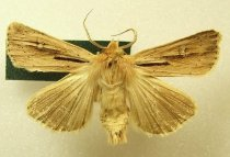 Image of Specimen, Lepidoptera - Brown noctuid moth, attracted to light, farmland pasture. Washdyke, Timaru, March 1996.