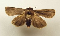 Image of Specimen, Lepidoptera - Brown noctuid moth, hibernating in  numbers under bark of upright tree stump. Waihi Gorge, Geraldine area, 20 Aug 1996.