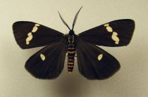 Image of Specimen, Lepidoptera - Magpie moth, flying over garden area, early morning. Timaru January 1995.
