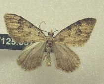 Image of Specimen, Lepidoptera - Small grey looper moth, attracted to light, suburban garden, Timaru 27 July 1996.