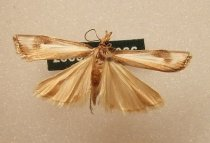 Image of Specimen, Lepidoptera - Grass moth, attracted to light, SC Museum grounds 17 Nov 2003.
