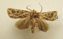 Image of Specimen, Lepidoptera - Desert owlet moth, attracted to light, Lake Pukaki, 30 Dec 1984.
