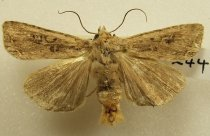 Image of Specimen, Lepidoptera - Owlet moth, attracted to light, suburban garden. Timaru, February 1995.