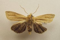 Image of Specimen, Lepidoptera - Attracted to light, Timaru suburban garden, 17 March 1997.