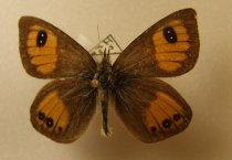 Image of Specimen, Lepidoptera - Janita's tussock butterfly. In flight, tussock/scrub zone 1000m.