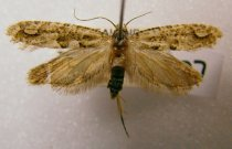 Image of Specimen, Lepidoptera - Small tineid moth. Attracted to light, Timaru suburban garden, February 1996.