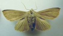 Image of Specimen, Lepidoptera - Speargrass noctuid moth. Attracted to light, Washdyke Racecourse, Timaru. Strong northwest wind blowing at time. March 1996.