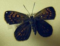 Image of Specimen, Lepidoptera - Active over riverbed vegetation in warm sunshine  2005/125.605A - F.