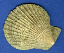 """Image of Specimen, Bivalve - Fossil bivalve - 2 valves. Colelcted by Dr Philip Maxwell from site in Lake Waitaki area.  """"Chlamys"""" chathamensi. Genus still found in NZ waters"""