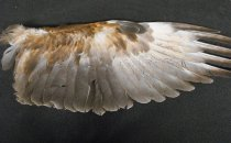 Image of Specimen, Skeletal - Wings, tail and legs/feet of an australasian harrier, recovered from road kill specimen, unknown Canterbury locality.