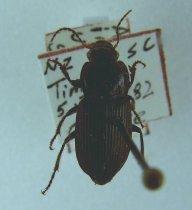 Image of Specimen, Coleoptera - Active in sun in urban garden. Timaru Feb 29182
