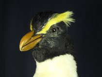 Image of Specimen, mounted - Upright specimen of a crested penguin found washed up on Orari Beach, May 2008