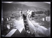 Image of [Sheep dipping, Clayton Station] - Clayton Station Collection