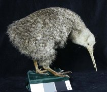 Image of Specimen, Mounted - Mounted specimen of the Little Spotted Kiwi, no locality data.