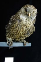 Image of Specimen, Mounted - Mounted specimen of whekau/luaghing owl. Specimen rather hunched, legs folded down. twisted toes. Unknown locality.