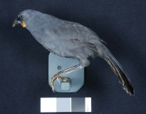 Image of Specimen, Mounted - Mounted specimen of South Island kokako. Unknown locality.