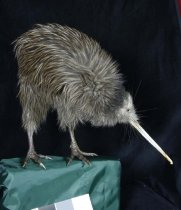 Image of Specimen, mounted - Mounted specimen of female North Island brown kiwi.