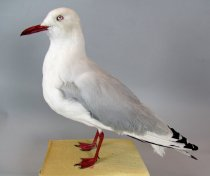 Image of Specimen, Mounted - Mounted specimen of red-billed gull in standing position. Specimen found dead on Timaru suburban section, appeared to have been hit by car, June 2012.