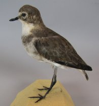 Image of Banded dotterel, non-breeding plumage