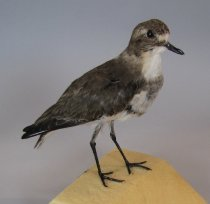 Specimen of banded dotterel in non-breeding plumag...