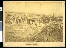 Image of [Harvesting, at Ashwick Station?] -