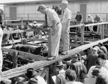 Image of [Cattle sale, Temuka saleyards] -