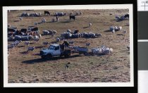 Image of Alistair Dickson feeding sheep & cattle - Timaru Herald Photographs, Personalities Collection