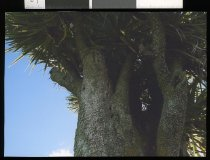 Image of [Bullet-holed cabbage tree, Cave] -