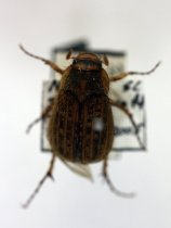 Image of Specimen, Coleoptera - Yellowspotted Chafer beetle. To light. Highfield, Timaru. 30/06/2005.