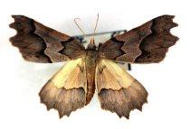Image of Specimen, Lepidoptera - Fern moth. Attracted to light, suburban garnden. Highfield, Timaru. 30/10/2005.