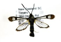 Image of Specimen, Lepidoptera - Pinned Currant Clearwing moth. Trapped inside window, suburban garden. Highfield, Timaru. 26/12/2010.