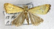 Image of Specimen, Lepidoptera - Moth specimen, to light, suburban garden. Timaru, SC. 17/02/2001.