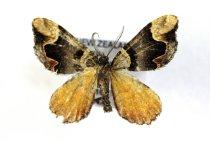 Image of Specimen, Lepidoptera - Looper moth specimen. To light, podocarp-broadleaf forest edge, pine forest adjacent. Claremont Bush, Timaru, SC. 04/02/2013.