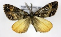 Image of Specimen, Lepidoptera - Looper moth, found flying over flowering shrubs at night, subalpine clearing in Nothofagus forest, 750m a.s.l. Temple Stream, Lake Ohau, MK. 26/01/2013.