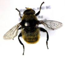 Image of Specimen, Diptera - Introduced bulb fly. In suburban garden. Found Highfield, Timaru. 09/11/2012.