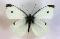 Image of Specimen, lepidoptera - White Butterfly found trapped in building, suburban garden. Highfield, Timaru. 19/10/2013.