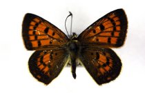 Image of Specimen, Lepidoptera - Copper butterfly active over dune vegetation. South Beach, Timaru, SC. 10/11/2013.