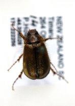 Image of Specimen, Coleoptera - Found Highfield, Timaru. 14/12/2013.