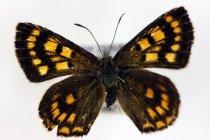 Image of Specimen, Lepidoptera - Pinned Glade Copper butterfly specimen. Active in warm sun on riverside oregano flowers, other Lycaena species present. Orari Gorge, Geraldine, SC. 08/01/2014.