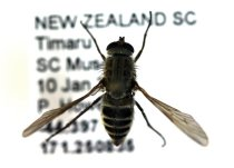 Image of Specimen, Diptera - Pinned fly specimen. South Canterbury Museum grounds, Timaru. 10/01/2014.
