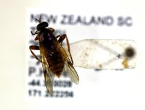 Image of Specimen, Diptera - Pinned fly specimen, found in suburban garden. Highfield, Timaru. 07/01/2014.