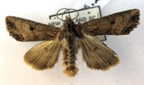 Image of Specimen, Lepidoptera - Noctuid moth. To light, suburban garden. Highfield, Timaru. 17/08/1996.