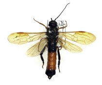 Image of Specimen, Hymenoptera - Male Sirex wood wasp. Found in pinewood. Timaru, SC. 02/03/2002.